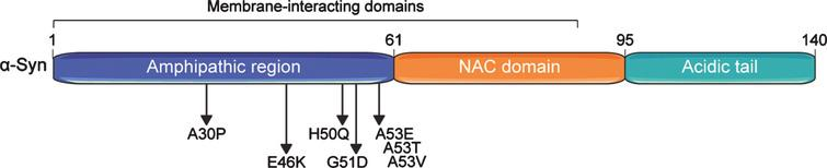 Domain structure of the human alpha-synuclein (α-Syn) protein. α-Syn comprises three basic domains: an N-terminal amphipathic region, a central non-β-amyloid component (NAC) domain, and a C-terminal acidic domain. Seven membrane-interacting amino acid motifs are also present in the first half of the protein. The region preceding the NAC domain concentrates all pathogenic α-Syn mutations identified so far. Numbers on the upper part of the structure refer to amino acid positions.