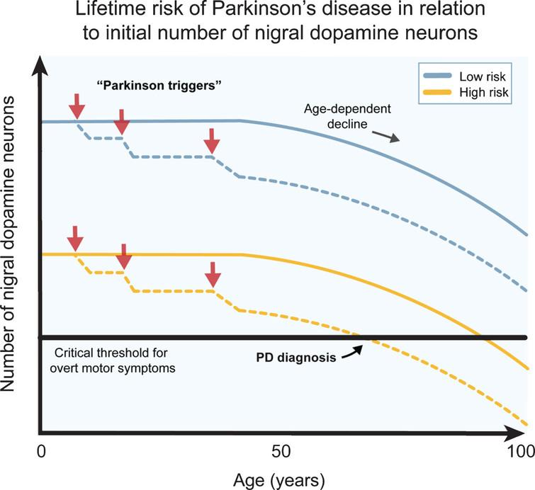 The number of dopamine neurons and Parkinson's disease risk. Several genetic, epigenetic and non-genetic factors affect the generation of dopamine (DA) neurons and their survival during development and birth. This likely contributes to a natural high variation in healthy human subjects. Individuals born with higher number of DA neurons are more robust to Parkinson's disease (PD) triggers (red arrows) since they can afford a higher cell loss before onset of motor symptoms (blue lines), while individuals born with a smaller starting population of DA neurons can afford a much lower cell loss from the exposure to PD triggers before the onset of motor symptoms (yellow lines). The combination of PD triggers and the natural age-related decline of DA neurons may therefore put some individuals at a greater lifetime risk of acquiring PD motor symptom. The DA neuron pool from birth may therefore be an important parameter when considering PD risk.