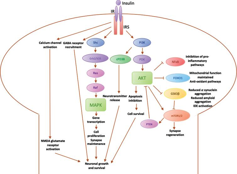 Diagrammatic summary of main pathways involved in insulin signalling in the brain. IR, insulin receptor; IRS, insulin receptor substrate; PI3K, phosphoinositide-3-kinase; PDK, 3-phosphoinositide-dependent protein kinase; Akt, Protein kinase B (PKB), plays a key role in activating downstream regulators of cell metabolism, proliferation and survival; PTEN, phosphatase and tensin homolog, regulates PI3K/Akt pathway by inhibiting Akt; mTOR, mammalian target of rapamycin, regulates cell metabolism and proliferation and synapse regeneration in neurons; GSK3β, glycogen synthase kinase 3, downstream mediator involved in IDE inactivation, leading to an increase in α synuclein expression, which aggregate into amyloid fibres; FOXO1, Forkhead box O1, involved in maintaining the mitochondrial electron transport chain for ATP generation and fatty acid oxidation, preventing oxidative stress; NFκB, nuclear factor κB regulates microglial activation and the expression of inflammatory mediators such as IL1β and TNFα; cPD3β, cyclic nucleotide phosphodiesterase 3β; Shc, an adaptor protein involved in the MAPK pathway; Grb2/SOS, downstream adaptor proteins in MAPK pathway; Ras, downstream protein in MAPK pathway that recruits Raf; Raf, Ras effector that stimulates a downstream signalling cascade through phosphorylation of MAPK; MAPK, mitogen-activated protein kinase, modulates downstream protein kinases involved in regulating cell proliferation, differentiation and apoptosis, maintaining neuronal growth and survival.