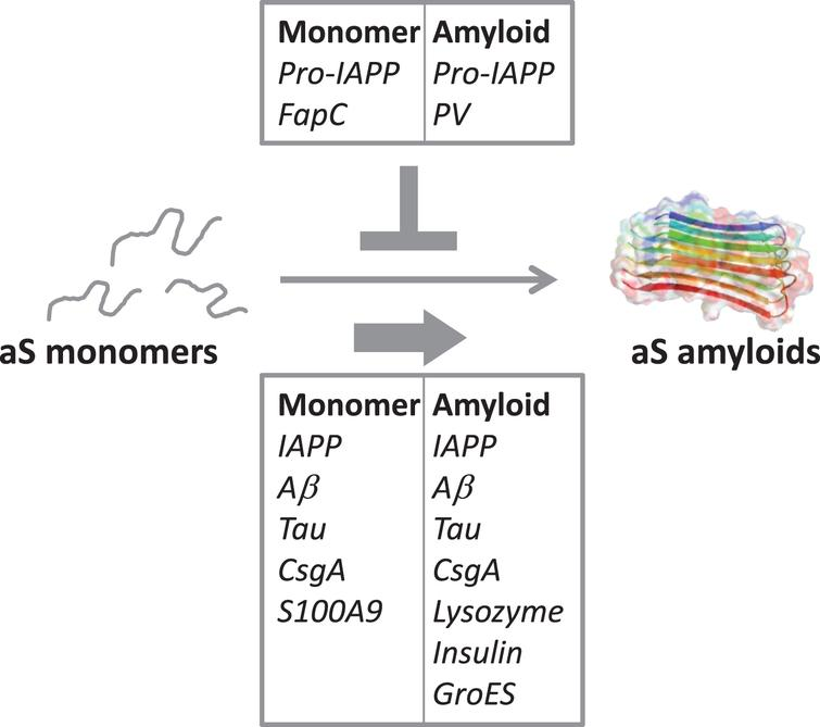Illustration of the cross-reactivity results reported in Table 2, indicating the amyloidogenic proteins (as monomers or amyloids) that accelerate aS amyloid formation (bottom box) and the ones that reduce/block aS aggregation (top box).