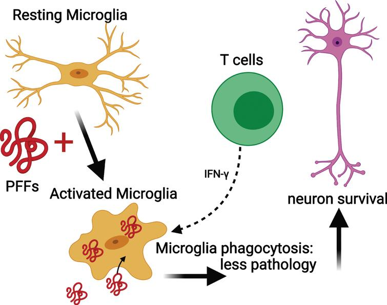 Mechanism for the reduced phosphorylated α-syn pathology in immunocompromised mice that received adoptive transfer of T cells. PFFs activate resting microglia to become active and phagocytose PFFs. The presence of T cells releasing IFN-γ helps to further activate microglia and enhance phagocytosis. This results in less pathology and neuronal survival. Schematic created with BioRender.com.