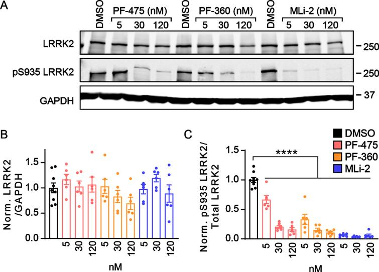 LRRK2 kinase inhibitors show prolonged inhibition of phosphorylation in primary neurons. A) Primary cortical neurons from LRRK2G2019S mice were treated at 5 days in vitro (DIV) with LRRK2 inhibitors at the noted concentrations and lysate was harvested at 21 DIV. Western blot is shown for total LRRK2 and pS935 LRRK2, the latter being a proxy for LRRK2 activity. B) Quantification of total LRRK2 normalized to GAPDH and vehicle treatment (One-way ANOVA; Dunnett's multiple comparison test: all p>0.05., n=6–9 samples/group). (C) Quantification of pS935 normalized to total LRRK2 and vehicle treatment (One-way ANOVA; Dunnett's multiple comparison test: all ****p<0.0001 as compared to vehicle treatment, n (separate cultures)=6–9 independent samples/group).