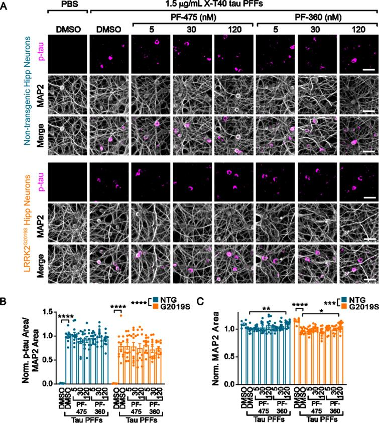 Wildtype and LRRK2G2019S neurons exhibit robust, inhibitor-insensitive tau pathology. A) Primary hippocampal neurons from NTG or LRRK2G2019S mice were treated with vehicle or LRRK2 inhibitors at the noted concentrations at 5 DIV. They were further treated with X-T40 tau PFFs at 1.5μg/mL at 7 DIV and fixed and stained for pS202/T205 tau (AT8, magenta) and MAP2 (gray) at 21 DIV. Scale bar=50μm. B) Quantification of the pS202/T205 tau area normalized to MAP2 area and further normalized to NTG-DMSO-PFF. LRRK2G2019S neurons showed a small, genotype-level significant reduction in tau pathology, and each genotype showed no tau pathology without addition of X-T40 tau PFFs (Two-way ANOVA; genotype effect ****p<0.0001, Dunnett's multiple comparison test within genotype: NTG: DMSO-PFF vs. DMSO****p<0.0001; G2019S: DMSO-PFF vs. DMSO ****p<0.0001; All other values were not statistically significant). C) Quantification of the MAP2 area also showed a small genotype-level significant change as well as a reduction related to PFF treatment. Interestingly, the highest dose of PF-360 also elevated MAP2 area slightly (Two-way ANOVA; genotype effect ***p=0.001, Dunnett's multiple comparison test within genotype: NTG: DMSO-PFF vs. 120nM PF-360-PFF **p=0.0027; G2019S: DMSO-PFF vs. DMSO ****p<0.0001; DMSO-PFF vs. 120nM PF-360 *p=0.0216; All other values were not statistically significant). n (separate cultures)=7-8 independent samples/group. Data are represented as mean±SEM with individual data points plotted.