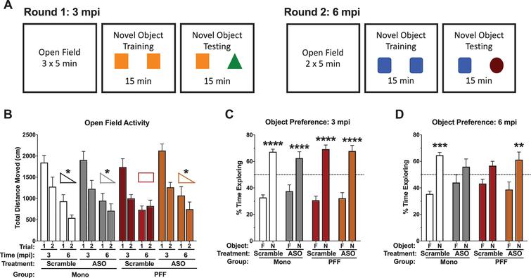 Performance in the open field and novel object recognition. A) Schematic of the behavioral protocol used at 3 mpi (left) and 6 mpi (right). Distinct objects were used between the two time points. B) Total distance moved during the open field on day 1 and day 2 at 3 mpi and 6 mpi. No differences were detected in total distance moved at 3 mpi. However, at 6 mpi there was a significant time-by-PFF-by-ASO interaction (F(1,29)=5.637, p=0.024). PFF-Scramble animals did not decrease their total distance moved from day 1 to day 2, while all other groups did. C) Percent time spent with the objects at 3 mpi; while Scramble and ASO groups are indicated here, this time point is prior to ASO delivery. All groups showed a preference for the novel object: Mono-Scramble familiar vs. novel, t(50)=5.632, p<0.0001; Mono-ASO familiar vs. novel, t(50)=4.706, p<0.0001; PFF-Scramble familiar vs. novel, t(50)=6.796, p<0.0001; PFF-ASO familiar vs. novel, t(50)=6.713, p<0.0001. D) Percent time spent with the objects at 6 mpi; this time point is post-ASO delivery. Mono-Scramble and PFF-ASO animals showed a preference for the novel object (t(52)=4.206, p=0.0004; t(52)=3.462, p=0.0043, respectively), whereas Mono-ASO and PFF-Scramble animals did not (t(52)=1.845, p=0.2541; t(52)=1.945, p=0.2099, respectively). Data are presented as group averages±SEM. Animals that explored<2s were excluded from analysis. *p<0.05, **p<0.01, ***p<0.001, ****p<0.0001.