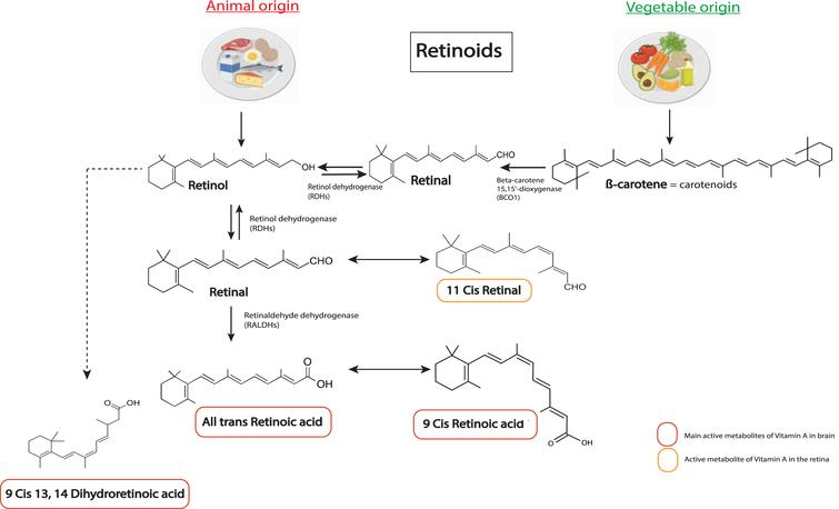 Chemical structures of the main retinoids metabolized in the body. Retinol (vitamin A) is directly provided by animal sources. Carotenoids, such as β-carotene, are precursors of retinol from vegetable sources that can be converted into retinol by the organism. Retinol is metabolized into retinal by enzymes of the RDHs family, which can also be converted back to retinol. Retinal can be metabolized into 11 cis retinal. A key bioactive metabolite produced from retinal is RA (all trans retinoic acid), which is irreversibly metabolized by a RALDH protein (ALDH1A1 belongs to RALDHs). RA can be metabolized in 11-Cis Retinal, which is an active metabolite in the retina, and in 9-cis RA, another key active metabolite for the brain. Alternatively, retinol can be transformed in 9CDHRA, an endogenous RXR ligand. RDHs, retinol dehydrogenases; RALDHs, retinaldehydes dehydrogenases.