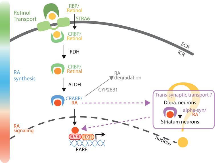 Model of RA metabolism and signaling in the nigro-striatal pathway. Retinol (vitamin A) is transported in the extracellular fluids by RBP, and internalized into the cells by STRA6. Retinol can also diffuse across the plasma membrane or through other transporters, not yet identified. Retinol is then bound to CRBP and metabolized into retinal by enzymes of the RDHs family. Retinal is further metabolized into RA by a RALDH protein (notably ALDH1A1 in a sub-population of SNc neurons). RA is then transported to the nucleus bound to CRABP protein. In the nucleus, RA binds to RA receptors (RARs), which activate the control of gene expression by RAR/RXR dimers on genes with a RARE sequence in their promoter. Furthermore, as a trans-synaptic factor, RA can travel trans-synaptically from SNc neurons to striatum neurons [24]. From the literature, it is possible that alpha-synuclein may serve as a cargo protein for the trans-synaptic transport of RA [26]. Finally, RA can be degraded by the Cyp26B1 enzyme. RBP, retinol binding proteins; STRA6, transporter stimulated by retinoic acid 6; CRBP, cellular retinol binding protein; CRABP, cellular retinoic acid binding protein; RDHs, retinol dehydrogenases; RALDHs, retinaldehyde dehydrogenases family (including ALDH1A1); RARE, retinoic acid receptor response element.