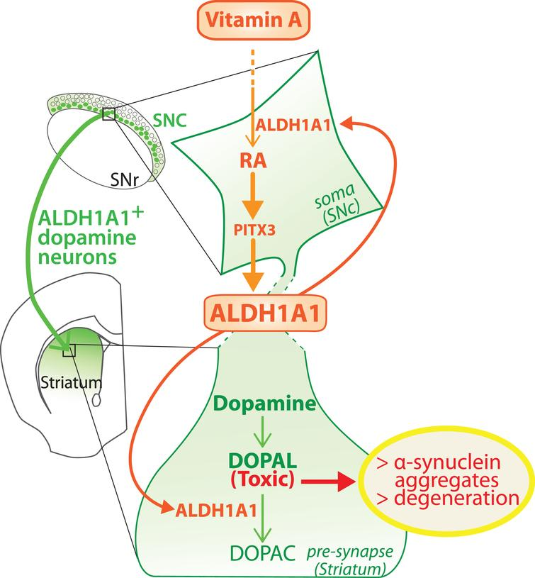 Model of the dual role played by ALDH1A1 in the nigro-striatal pathway. ALDH1A1 is involved in the metabolic pathway of RA because it synthesizes RA from retinal. In parallel, ALDH1A1 is involved in catabolic pathway of dopamine because it degrades DOPAL to DOPAC. Considering that RA controls the expression of ALDH1A1 through PITX3, the model proposes that ALDH1A1 expression is controlled by vitamin A bioavailability. SNc, substantia nigra pars compacta; SNR, substantia nigra pars reticulata.