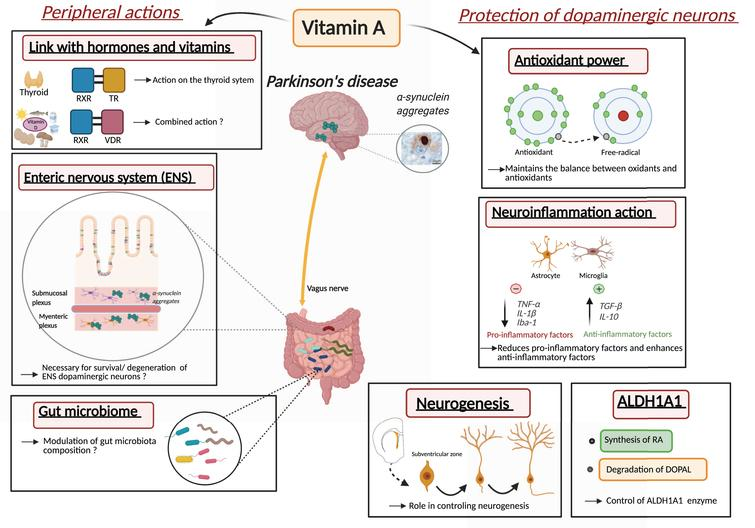 Proposed roles and mechanisms of vitamin A metabolism in the pathophysiology of Parkinson's disease. Inset with α-synuclein aggregates from [110].