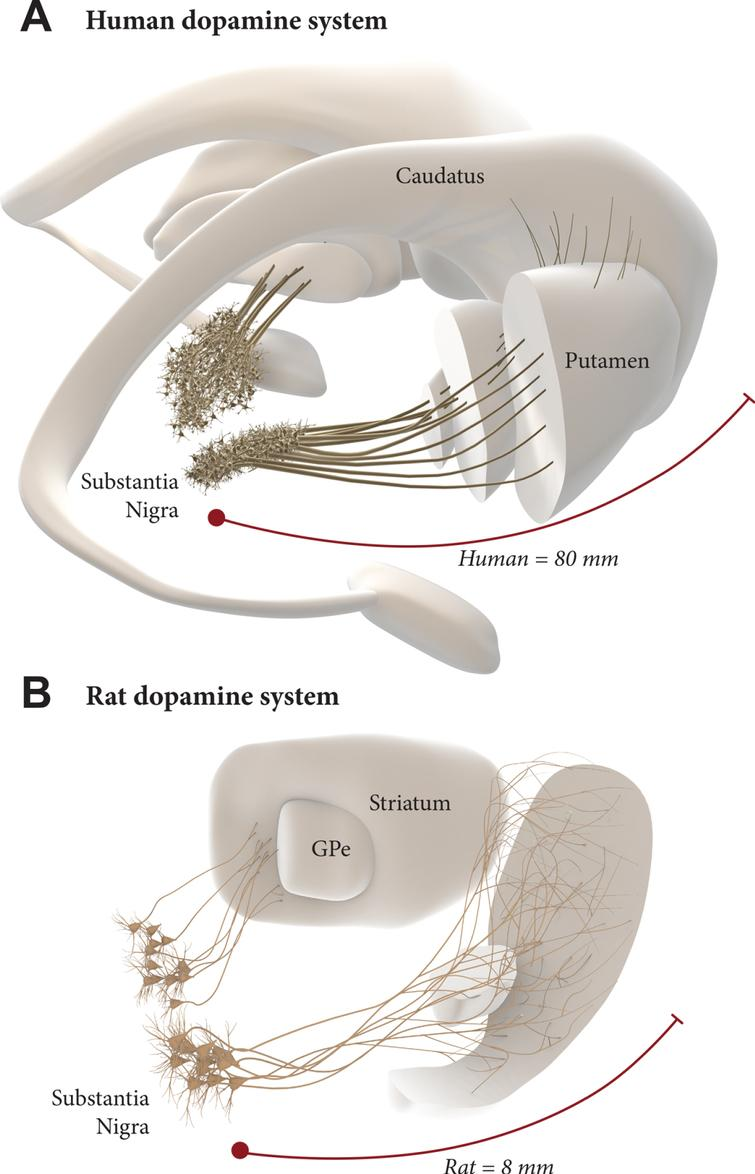 Intranigral grafting is attractive as a way to achieve more complete circuitry repair, more refined functional regulation of the grafted neurons, and more widespread reinnervation of the DA-deficient forebrain areas. The use of this approach in the human brain, however, is a challenge due to the 10-fold greater length of the human DA system (A), compared to the one in the rat brain (B). This may require a combined therapeutic approach where growth promoting factors are used to increase the growth capacity of the grafted mDA neurons.
