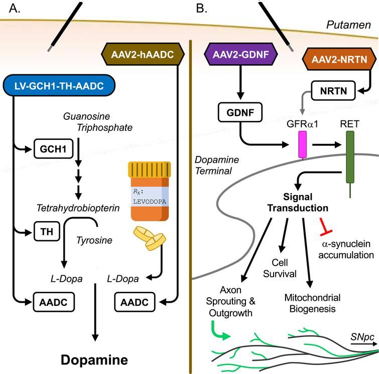 """Methods of Action for Current Gene Therapies. A) Enhancement of dopamine production. LV-GCH1-TH-AADC transduction of putaminal neurons restores key enzymes of the DA production pathway, leading to increased production of the TH co-factor tetrahydrobiopterin (via GCH1), increased production of levodopa from tyrosine (via TH), and enhanced conversion of levodopa (L-DOPA) to readily available DA (via AADC). AAV2-hAADC transduction of putaminal neurons leads to the increased local production of AADC to enhance the conversion of L-DOPA to readily available DA. Both therapies durably enhance the amount and consistent production of DA, from both endogenously produced and medication derived L-DOPA, within the putamen with the goal of reducing """"Off"""" time symptoms [1, 2]. B) Restoration of neurotrophic signaling. Transduction of putaminal neurons by AAV2-GDNF or AAV2-NRTN leads to increased expression of glial cell line-derived neurotrophic factor (GDNF) and neurturin (NRTN), respectively, both of which are decreased in PD brain. These neurotrophic factors exert their effects by binding to GDNF family receptor α (GFRα) members on the surface of the DA neuron terminals. GDNF has a high affinity for GFRα1, which is highly expressed on DA neurons. NRTN can also bind to GFRα1, though with a lower affinity. The receptor/ligand complex attracts and activates the transmembrane receptor RET, a receptor tyrosine kinase, triggering a cell survival signaling cascade within the DA neurons. Evidence from animal models of PD have shown that enhanced neurotrophic factor expression in the striatum can protect against nigrostriatal DA neuron loss, reduce α-synuclein accumulation in DA neurons, improve mitochondrial biogenesis and function, and encourage sprouting and growth of DA axons [14, 15, 58]."""