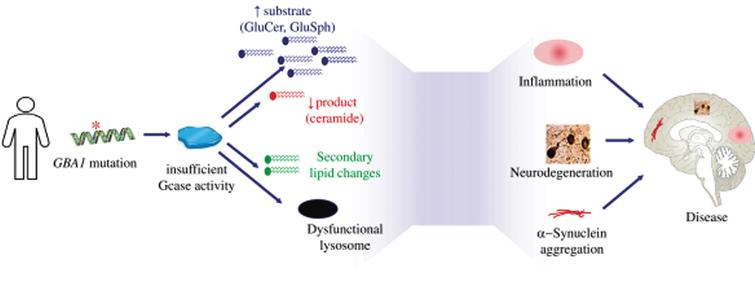 Pathophysiology of Parkinson's disease associated which GBA1 mutations.
