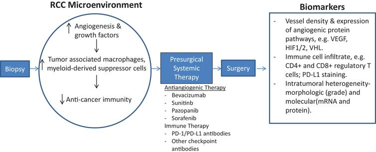 Schematic of early-phase clinical trial for presurgical systemic antiangiogenic therapy in metastatic RCC. Sequential tissue acquisition pre and post systemic therapy allows for identification of biologic drivers of cancer progression as well as predictive and prognostic biomarker development.