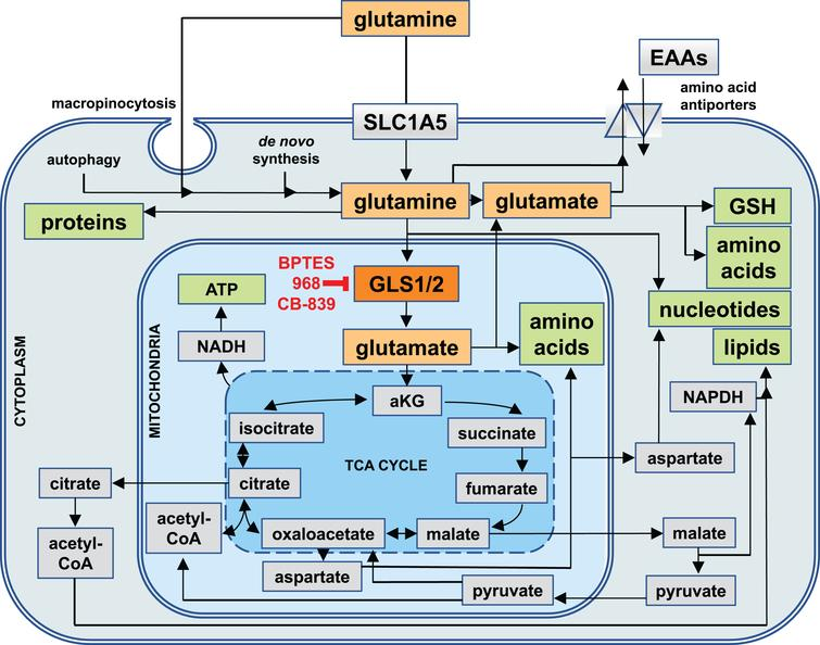 Cellular Uptake Routes and Intracellular Utilization of Glutamine. Glutamine (yellow) is either synthesized by cells de novo, taken up through the solute carrier 1A5 (SLC1A5), or derived from the intracellular breakdown of macromolecules (autophagy). Glutamine and its metabolic product, glutamate (orange), can be exported from cells in exchange for other essential amino acids (EAAs). Intracellularly, they are involved in a wide range of metabolic pathways that serve to generate other amino acids and glutathione (GSH) as well as precursors for the biosynthesis of nucleotides and reducing equivalents in the form of nicotinamide adenine dinucleotide (NADH) and NADH phosphate (NADPH) for generating energy and lipids. Most of glutamine is utilized by mitochondria, where the enzyme glutaminase 1 (GLS1, red) or glutaminase 2 (GLS2, not shown) convert glutamine into glutamate, which in the form of alpha-ketoglutarate (aKG) can enter the tricarboxylic acid cycle (TCA cycle). GLS1 is the target of glutaminase inhibitors such as BPTES, 968, and CB-839.