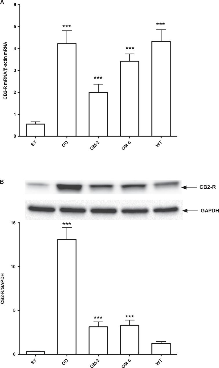 Panel A: CB2 receptor mRNA levels in adipose tissue from ApcMin/+ mice treated groups (ST=standard diet; OO=olive oil; OM-3=omega-3 PUFAs; OM-6=omega-6 PUFAs supplemented diet) and in the Wilde Type (WT) mice group. Data are presented as the mean±SE of ten animals for each group and expressed as n° molecules mRNA CB2 receptor gene/n° molecules mRNA β-actin. Panel B: Western blotting analysis of CB2 receptor protein in the same groups of treatment. Levels of CB2 receptor protein expression were normalized with Glyceraldeide 3-phosphate dehydrogenase (GAPDH) protein expression. ***P<0.005 (one-way analysis of variance and Dunnett Post Test).