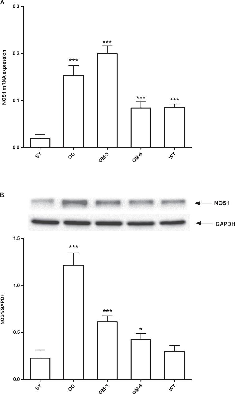 Panel A: NOS1 mRNA levels in adipose tissue from ApcMin/+ mice treated groups (ST=standard diet; OO=olive oil; OM-3=omega-3 PUFAs; OM-6=omega-6 PUFAs supplemented diet) and in the Wilde Type (WT) mice group. Data are presented as the mean±SE of ten animals for each group and expressed as n° molecules mRNA NOS1 gene/n° molecules mRNA β-actin. Panel B: Western blotting analysis of NOS1protein in the same groups of treatment. Levels of NOS1 protein expression were normalized with Glyceraldeide 3-phosphate dehydrogenase (GAPDH) protein expression. *P<0.05, ***P<0.005 (one-way analysis of variance and Dunnett Post Test).