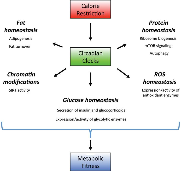Circadian clocks as a part of calorie restriction mechanisms. Circadian clocks regulate expression and activity of the rate-limiting enzymes in multiple signaling pathways. Through these regulations the circadian system controls protein, lipid, amino acids and ROS homeostasis. Calorie restriction recruits the circadian clocks, this recruitment leads to optimization of metabolic processes and increases the organism's fitness, which contributes to calorie restriction-mediated longevity benefits.