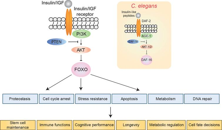 The insulin/IGF signaling pathway. FOXO transcription factors are inhibited by insulin/IGF signaling. In the absence of insulin/IGF binding, FOXOs regulate a number of cellular processes (blue), which in turn affect tissue homeostasis and organismal longevity. Inset shows the orthologous pathway in C. elegans.