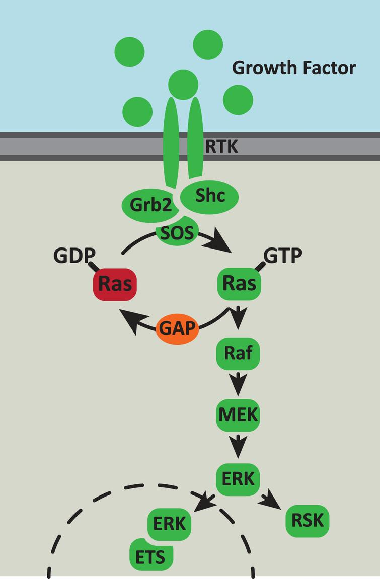 The Ras/MAPK signaling pathway. The Ras/MAPK signaling pathway responds to extracellular cues to control cell survival, proliferation and metabolism. Growth factor binding to receptor tyrosine kinases (RTK) activates autophosphorylation of the receptor which generates binding sites for the Grb2 and Shc adaptor proteins. These adaptor proteins recruit the Ras GTPase exchange factor (GEF), SOS, to the inner surface of the membrane. SOS catalyses the exchange of GDP to GTP on Ras and then the activated Ras-GTP recruits Raf to the complex. Raf then initiates a downstream phosphorylation cascade via MEK and ERK. Activated ERK phosphorylates multiple cytoplasmic and cytoskeletal proteins including ribosomal S6 kinase (RSK). In addition, activated ERK can translocate to the nucleus, where it phosphorylates and activates members of the the E-twenty-six (ETS) transcription factor family.