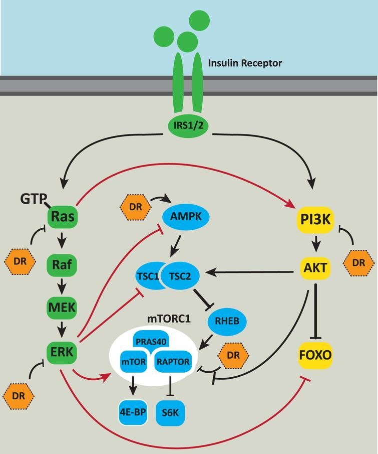 Integration of Ras/MAPK signaling with other aging pathways. The Ras/MAPK signaling pathway is intricately connected to other cellular pathways that impact on aging. Ras signaling is activated downstream of the activated insulin receptor. Ras can directly bind to and allosterically activate PI3K. Activated ERK phosphorylates an inhibitory site on AMPK negatively regulating its activation. Phosphorylation of the TSC by ERK increases mTORC1 activity. Phosphorylation by ERK inhibits the TSC's GAP function [76] thereby increasing mTORC1 activity. ERK also activates mTORC1 via phosphorylation of RAPTOR. ERK phosphorylation of the FOXO3A transcription factor leads to FOXO3A degradation via the ubiquitin proteasome system. Dietary restriction (DR) inhibits Ras-GTP and ERK activity, activates AMPK, inhibits mTOR and may inhibit insulin signaling via PI3K and AKT. Positive regulatory interactions are indicated by arrows. Negative regulatory interactions are shown as blunt-ended lines.