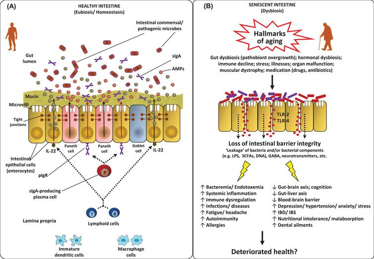 Features of the homeostatic intestinal environment (eubiosis) (A), and how a perturbed microbiota (dysbiosis) and gut barrier may instigate aging-related maladies (B). Under homeostatic conditions (eubiosis), the epithelial cells produce antimicrobial peptides (AMPs) in response to interleukins (e.g. IL-22) and also express pattern recognition receptors (e.g. Toll-like receptors; TLR). The gut microbes regulate mucous secretion and AMPs production and also regulate/enhance the gut barrier integrity via producing short-chain fatty acids (SCFAs). Goblet cells produce mucus to constrain pathobiont invasion. Lymphoid cells (e.g. TH17 cells) play a role in host defense by producing controlled arrays of IL-22. Dendritic cells (DCs) induce the activation and differentiation of naive B cells to produce plasma cells that produce commensal-specific IgA in the lamina propria. IgA is transported into the gut lumen as secreted IgA (sIgA) via (polymeric immunoglobulin receptor pIgR) receptors, where after sIgA binds to commensal microbes and soluble antigens, thereby restraining their adherence to the host epithelium and leakage through the gut barrier. However, under dysbiosis and/or senescent milieus, the altered microbiota composition and weakened/perturbed gut permeability may lead to increased adherence and leakage of various microbes and microbial by-products through the gut barrier thereby instigating hyper-inflammatory responses eventually increasing the host susceptibility to various gut-related as well as systemic ailments via perturbations in the magnitude of gut-brain axis, gut-liver axis etc. [7, 36, 63, 84, 124, 127, 128, 132, 133, 147].