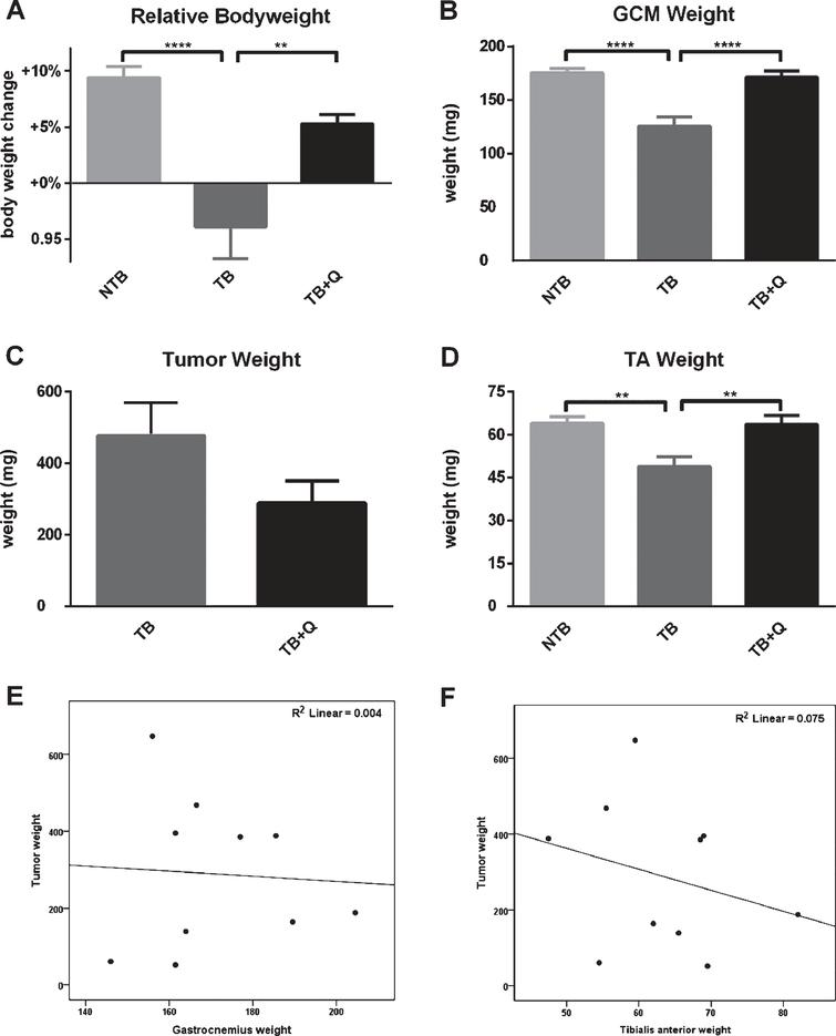 Bodyweight, muscle weight and tumor mass at sacrifice. Bar graphs depicting the mean±SEM for (A) final bodyweight normalized to starting bodyweight, (B) gastrocnemius muscle weight, (C) tumor weight, and (D) tibialis anterior muscle weight in non-tumor-bearing male CD2F1 mice (NTB, n=10), C26 tumor-bearing (TB) mice with ad libitum access to regular chow (C26 TB, n=10) and mice with ad libitum access to quercetin supplemented chow (TB+Q, n=10). Multiple group comparisons were done by one-way ANOVA with a Bonferroni's posthoc test. All groups were compared against TB mice. Asterisk brackets are displayed for significant results only. ** p<0.01 **** p<0.0001. A possible tumor weight reduction in quercetin treated mice was noted, therefore the relationship between gastrocnemius muscle weight and tumor weight, as well as tibialis anterior muscle weight and tumor weight, were assessed to demonstrate that a possible reduction in tumor burden did not contribute to the attenuation in muscle atrophy. Scatter-dot plots depict no relationship between (E) gastrocnemius muscle mass and tumor mass (Spearman's rho=0.091, p=0.80) and (F) tibialis anterior muscle mass and tumor mass (Spearman's rho=–0.261, p=0.47) in quercetin-treated mice. Considering these statistics, the attenuation in muscle atrophy cannot be sufficiently explained by differences in tumor burden.