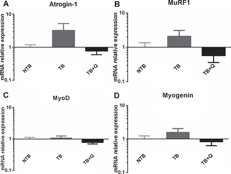 mRNA expression levels in cachectic muscle. Bar graphs depicting the mean±SEM mRNA expression levels in gastrocnemius muscle of (A) Atrogin-1, (B) MuRF1, (C) MyoD and (D) Myogenin in non-tumor-bearing male CD2F1 mice (NTB, n=10), C26 tumor-bearing (TB) mice with ad libitum access to regular chow (C26 TB, n=10) and mice with ad libitum access to quercetin supplemented chow (TB+Q, n=10). Multiple group comparisons were done by one-way ANOVA with a Bonferroni's posthoc test. All groups were compared against TB mice. A substantial but non-significant difference in expression of E3 ubiquitin ligase atrogin-1, and to a lesser extent MuRF1, was observed between TB and TB+Q mice.