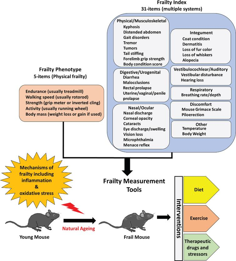 Preclinical models of frailty. The development of frailty phenotype and frailty index assessment tools has motivated efforts to test novel interventions that can attenuate or exacerbate frailty.