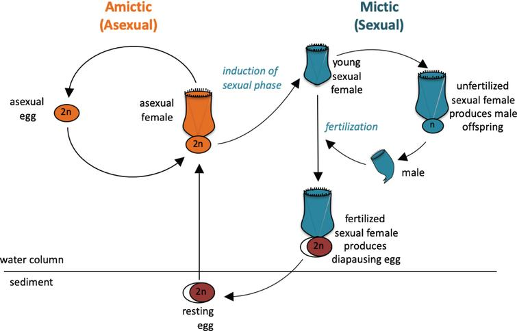 Life cycle of the monogonont rotifer Brachionus manjavacas. (A) Left, the asexual (amictic) cycle, in which a female produces clonal diploid eggs by mitosis. Right, the sexual (mictic) cycle, in which crowding conditions prompt a portion of females in the population to become mictic, producing haploid gametes via meiosis. If haploid gametes are not fertilized, they hatch into diminutive haploid males. Fertilized gametes develop into dormant resting eggs, able to desiccate and overwinter in the sediments. Upon hatching, resting egg restore the asexual cycle.