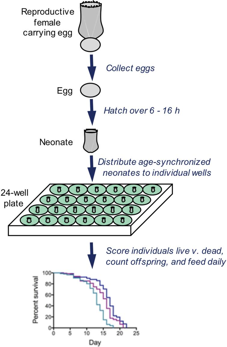 Typical methods for analyzing survivorship and fecundity of Brachionus. Eggs are collected and hatched over a short time window, resulting in an age-synchronized cohort. Neonates are distributed to wells containing 1ml of seawater, algae as food, and drugs or other treatment. Every 24h, all individuals are observed by dissecting microscope; each rotifer is fed, scored as live or dead, assessed for reproductive status, and the number of offspring is counted. These methods allows individual-level measurements of lifespan and reproduction with high replication.