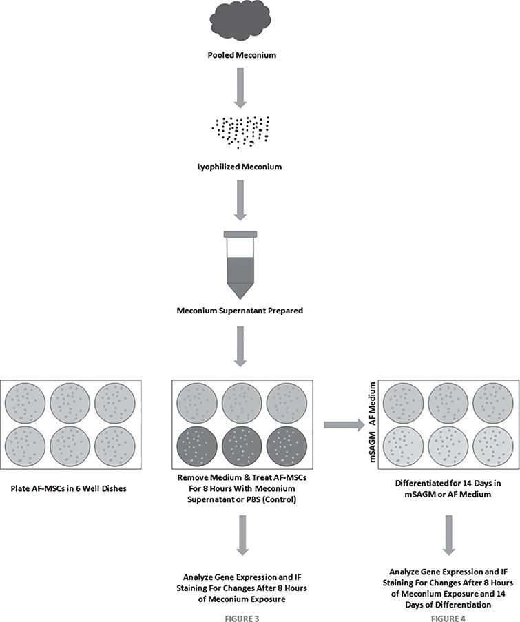 Schematic Describing the Meconium Exposure and Differentiation of AF-MSCs.