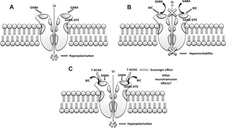 Possible mechanisms of action of 7-ACAG. A) GABA increases Cl- entry, hyperpolarizing the cell membrane. B) Bicuculline (BIC) blocks the GABA binding site, inducing hyperexcitability. C) 7-ACAG displaces BIC from the GABA binding site reversing the blockade effect induced by BIC. Moreover, it is possible that 7-ACAG can be involved in the modulation of other neurotransmissions and produce other effects.