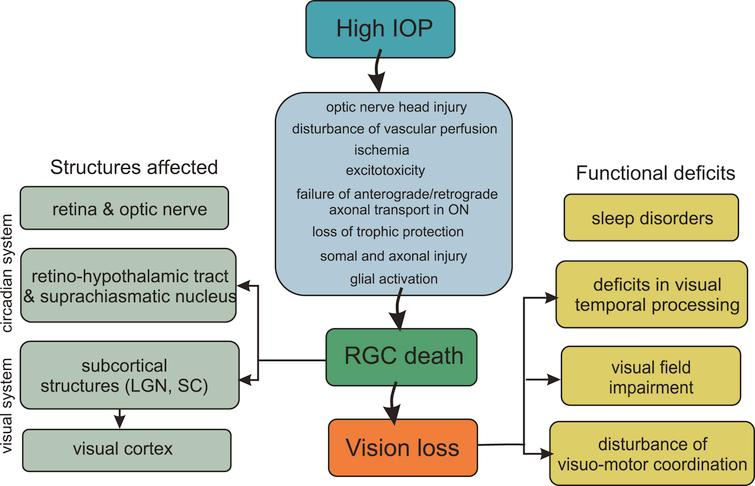 Flow diagram showing key factors involved in the pathogenesis of glaucoma triggered by elevated intraocular pressure and its structural and functional consequences. IOP – intraocular pressure; LGN – lateral geniculate nucleus; ON – optic nerve; RGC – retinal ganglion cell; SC – superior colliculus.