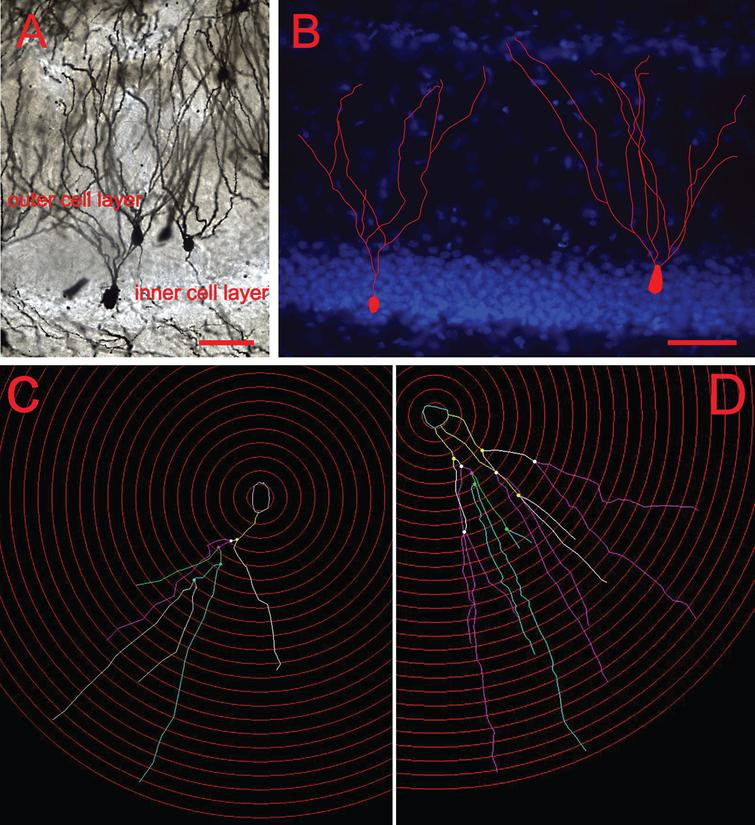 Classification of young and mature neurons in the DG. (A) Representative images of Golgi-impregnated granule cells. (B) Cells residing in the inner granule cell layer with single dendritic extensions were classified as young cells, whereas those with multiple dendrites that resided in the outer cell layer were classified as mature. Scale bars: 50 μm. (C) Dendritic tracing of a young neuron and (D) Dendritic tracing of a mature neurons by using the software Neurolucida.
