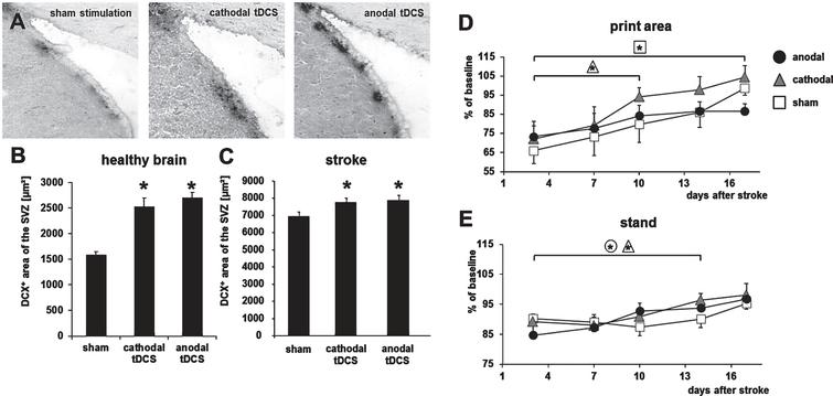 Transcranial direct current stimulation (tDCS) induces neurogenesis and accelerates functional recovery after stroke in the rodent brain. (A) Neuroblasts in the subventricular zone (SVZ) were identified by their expression of doublecortin (DCX) under control conditions (sham, left) and after multi-session tDCS of cathodal (middle) or anodal (right) polarity. (B) Following multi-session tDCS of cathodal or anodal polarity, the area of DCX-positive neuroblasts in the SVZ ipsilateral to tDCS was wider than under control conditions in the healthy mouse brain (sham). (C) Rats subjected to focal cerebral ischemia by middle cerebral artery occlusion displayed a wider DCX+area of the SVZ when treated with tDCS of cathodal or anodal polarity for 10 consecutive days after stroke. (D) Motor recovery assessed by the Catwalk test revealed that multi-session cathodal tDCS led to a faster recovery of limb strength ('print area') in stroke rats compared to sham treatment. (E) Both cathodal and anodal tDCS facilitated recovery of gait, i.e., led to less limping ('stand'), compared to control (*p < 0.05). Figure elements were modified from Pikhovych et al., 2016 and Braun et al., 2016 with permissions.
