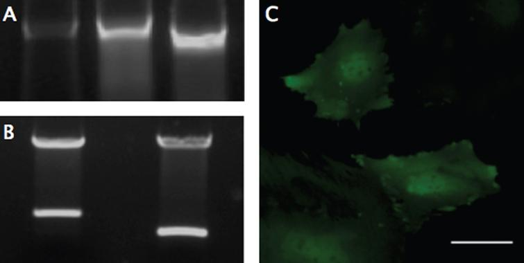 PCR, Digestion, and Fluorescent Expression. (A) Genomic DNA from modified MSCs was isolated and examined with PCR using primers designed to flank the multiple cloning site, to analyze the insertion of the SDF-1-T2A-GFP sequence (Left), using the plasmid DNA (Middle) and GFP only plasmid (Right) as size controls. The genomic DNA revealed size-matched PCR products to the plasmid and a ∼300 larger base-pair fragment, compared to the GFP control. (B) Restriction digestion was performed on the completed MSCV-puro retroviral vector with the SDF-1-T2A-GFP sequence (Left), or just GFP sequence (Right) inserted into the multiple cloning site between Bgl-II and EcoRI restriction sites. (C) GFP was used as a reporter gene to confirm transcription and translation of the engineered sequence. GFP expression was confirmed using fluorescent microscopy with a FITC filter. Scale bar represents 50-μm.