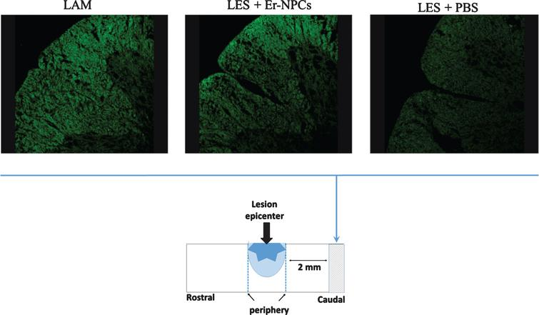 Myelin preservation in the injured cord of animals treated with Er-NPCs. Myelin preservation was evaluated by means of Fluoromyelin™ staining (green) performed in sections at the lesion epicenter, and 2 mm caudally to the lesion site (please see schematic representation).
