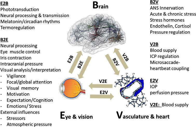 The brain-eye-vascular triad. This triad illustrates the interdependency of the three organ systems and their role in vision loss. The retina, which transforms light rays to electrical cell signals weighs only about 1 gram. But the estimated weight of the brain areas needed to support normal vision is on the order of several hundred grams. To understand the causes and consequences of vision loss, and to find new treatment options, the eye and the visual system cannot be viewed in isolation but rather need to be considered within the holistic context of different systems throughout the brain and vascular system. The arrows indicate the direction of interaction between brain (b), vascular system (v) and eye (e). The eye-brain influence is denoted as E2B (eye-to-brain) and B2E (brain-to-eye or brain-to-central visual structures). Such interactions can be direct or indirect. Note: blood flow is not only important for delivering nutrition / oxygen and removal of metabolic by-products, but it is also important for thermo-regulation when the eye is exposed to extreme heat or cold. IOP is at least in part regulated by the brain.