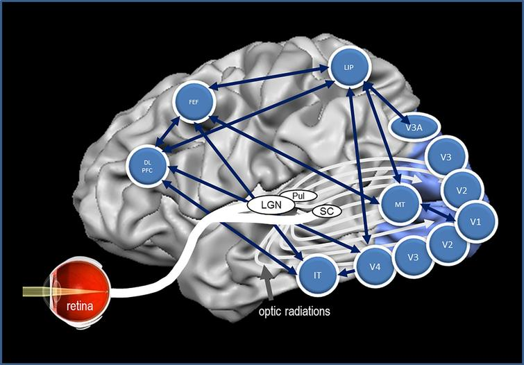 The brain's network to control vision. Many structures of the brain need to interact synchronously to execute visually elicited performance. The vision network is comprised of the retina, subcortical structures, and cortical areas of the brain with multiple interactions with each other. This graph depicts some of the most important brain regions and their presumed functions. The structures and some of their main functions are depicted in Table 2.