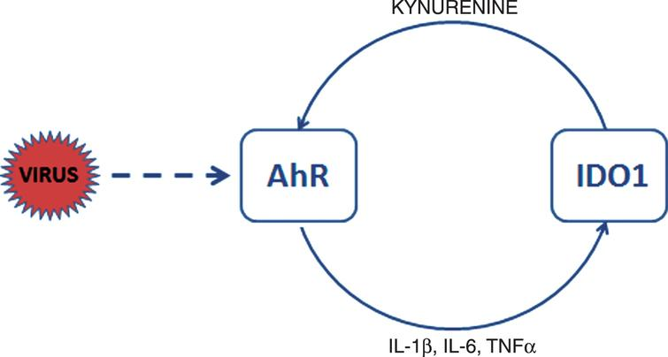 AhR activation in CoV-infected cells. CoV activate AhR by means of AhR-activating ligand independent of IDO1. Upon activation AhR translocates to the nucleus to bind to genomic DNA and to generate downstream effectors such as AhRR, CYPs, TiPARP, and cytokines. IDO1 is induced by inflammatory factors, such as TNFα and interleukins 6 (IL-6) and 1β (IL-1β). AhR also enhances its own activity through activation of IDO1-AhR-IDO1 positive feedback loop prolonging the effects of AhR activation by other pathways. Activation of IDO1 leads in immune cells to release of kynurenine, a tryptophan metabolite, which is an endogenous ligand activating AhR. Exogenous ligands binding to AhR are dioxins such as TCDD.