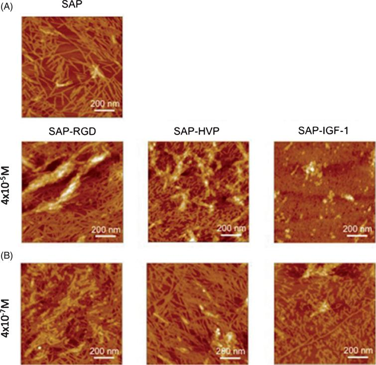 Atomic Force Microscopy (AFM) images of: A) Self-assembling peptide hydrogel pristine (SAP) or enriched with conjugates between SAPs and adhesive peptides (called SAP-RGD and SAP-HVP) or decorated with a conjugate between SAP and Insulin-like Growth factor-1 (called SAP-IGF-1) at 4  10– 5 M; and B) SAP-RGD, SAP-HVP and SAP-IGF-1 at 4  10– 7 M on mica surface. This figure was reproduced under a Attribution 4.0 International (CC BY 4.0). Figure taken from [261].