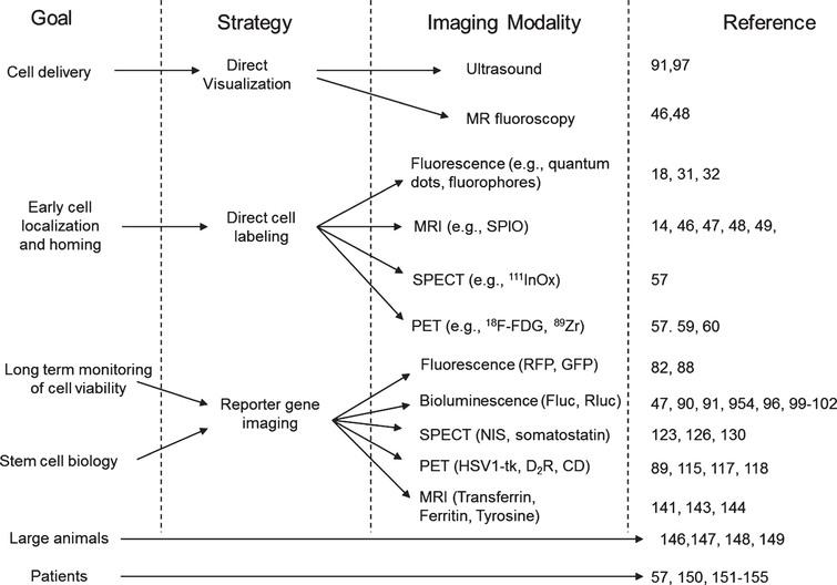 Summary of the different imaging strategies that can be used to assess the delivery, short- and long-term monitoring of stem cell viability and biology. MRI: magnetic resonance imaging, SPECT: single photon emission computed tomography, PET: positron emission tomography, RFP: red fluorescent protein, GFP: green fluorescence protein, Fluc: firefly luciferase, Rluc: renilla luciferase, NIS: sodium iodine symporter, HSV1-tk: herpes simplex virus type 1 thymidine kinase, D2R: dopamine receptor type 2, CD: cytosine deaminase.