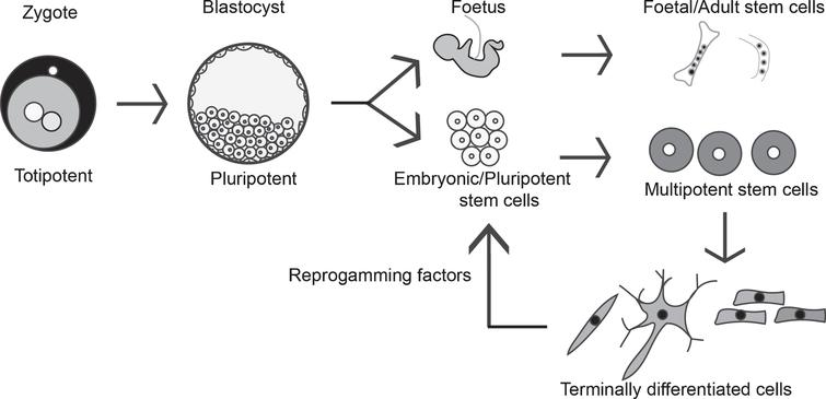Stem cell types and characterization: Totipotent stem cells can form embryonic and extra embryonic tissue, and zygotic cells are the best example of such totipotent cells. Totipotent cells of the zygote develop into a blastocyst, and the cells of the inner cell mass can be isolated and cultured as embryonic stem cells (ESC), which are pluripotent (i.e., can form embryonic cells but not extra embryonic cell types). Multipotent stem cells like MSCs and HSCs can give rise to multiple cell types, and MSCs can be found in the developing fetus, umbilical cord, and in adult tissues like the bone marrow. Terminally differentiated cells can be reprogrammed to become pluripotent cells by exposing them to certain signals called the reprogramming factors, and such cells are called induced pluripotent stem cells (iPSC).