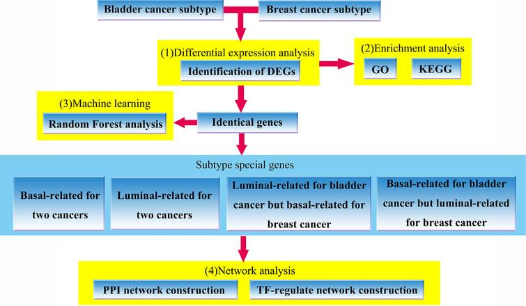 The flowchart of our work, which includes (1) identification of bladder cancer and breast cancer subtypes-related DEGs, (2) GO and KEGG enrichment analysis for the identified DEGs, (3) random forest analysis using overlapping genes shared by two cancers (4) PPI network and TF-regulation network construction based on subtype special genes involved in the defined four groups.
