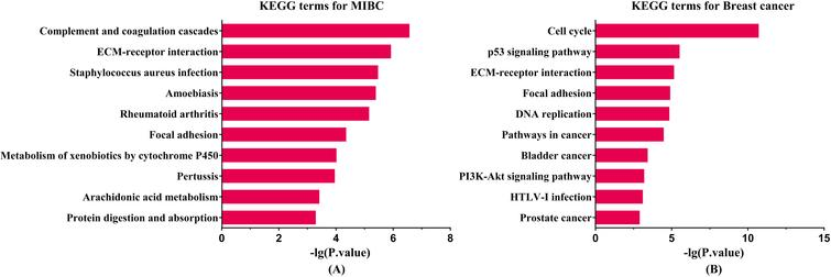 KEGG enrichment analysis results for two cancers. The length of bar is positive correlation with significant level. (A) Enriched KEGG pathway for MIBC. (B) Enriched KEGG pathway for breast cancer.