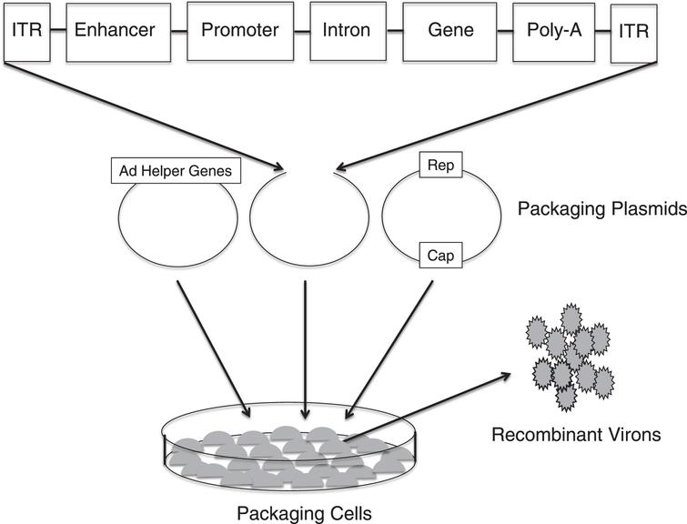 Production of recombinant adeno-associated virus (AAV). Three separate plasmids that carry the rep and cap sequences, the adenovirus (AD) helper genes and the TNS depicted in Fig. 1B are transfected into cell lines. Viral genome replication, protein translation and the assembly of the virons occur in the cell line. The AAV virons are then collected, purified and tittered.