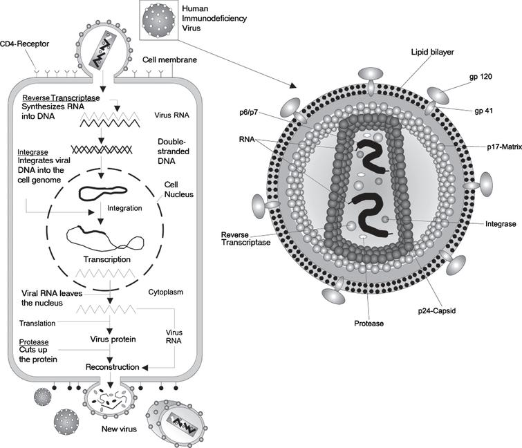 A depiction of the life cycle of the Human immunodeficiency Virus (HIV). HIV is a complex retrovirus. The HIV life cycle includes viral binding, entry, reverse transcription, integration, transcription, translation, protein modification, assembly and budding. This figure is courtesy of Wikimedia Commons and is re-printed under the GNU free documentationlicense.