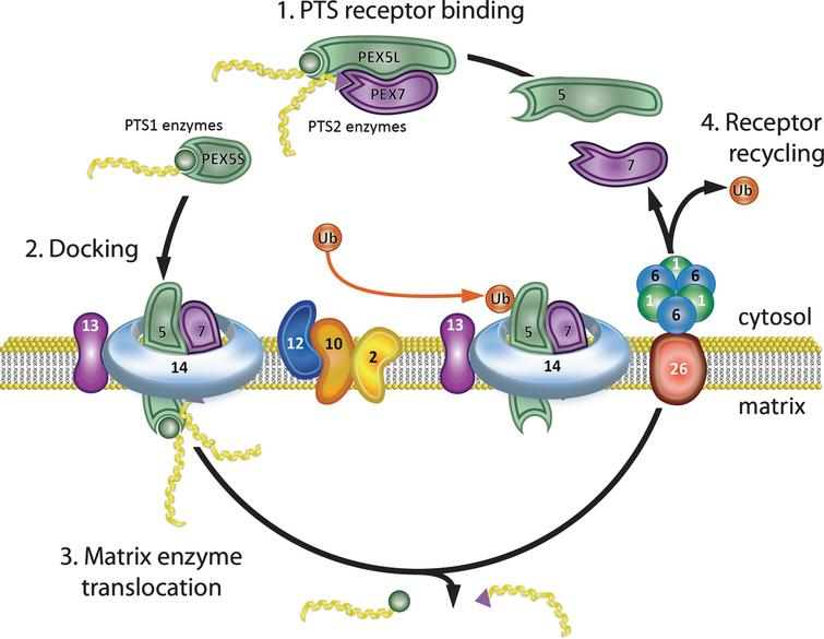 Peroxisome matrix protein import. (1) PTS receptor binding. PEX5 and PEX7 cytosolic receptors bind their cognate ligands (PTS1 and PTS2 enzymes, respectively) in the cytosol. PEX5 has two isoforms that differ by alternative splicing. The longer isoform, PEX5L, binds both PTS1 enzymes and PEX7 and delivers them to the peroxisome membrane. (2) Docking. The receptor-ligand complex docks at the peroxisome membrane by binding PEX13 and PEX14. (3) Matrix enzyme translocation. PEX5, together with PEX14, forms a dynamic membrane pore through which the ligands are transported into the peroxisome matrix. (4) Receptor recycling. PEX2, PEX10, and PEX12 mono-ubiquitinate PEX5, allowing its removal from the membrane. The PEX1-PEX6 AAA-ATPase heterohexamer (anchored to the peroxisome membrane by PEX26) uses the energy from ATP hydrolysis to remove PEX5-Ub from the peroxisome membrane for another round of import. PEX7 is recycled to the cytosol after PEX5 in an ATP independent manner. Note that defects in PEX7 prevent import of PTS2 enzymes, but do not disrupt the PEX5/PTS1 import pathway.