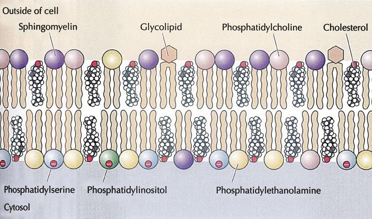 Cholesterol in the structure of the cell membrane; from Cooper, Hausman with permission.