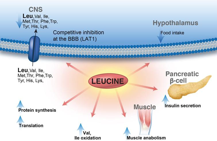 Leucine metabolic effects in multiple organ systems. Leucine displays a multitude of effects in various organs: enhances protein synthesis, inhibits muscle protein breakdown, stimulates insulin secretion and plays a role in central nervous system food intake regulatory circuits and feeding behavior. Leucine is transported via the large neutral amino acid transporter LAT1 at the blood–brain barrier, among other transporters, and can compete with other large neutral amino acids for uptake/transport affecting neurotransmitter biosynthesis. Lastly, leucine-derived α-ketoisocaproate is a potent inhibitor of the branched-chain ketoacid dehydrogenase-kinase resulting in activation of branched-chain ketoacid dehydrogenase and increased BCAA (valine and isoleucine) oxidation.