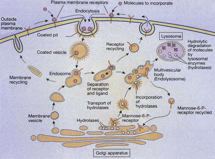 Receptor-mediated and lysosome formation. (Courtesy of Dr. Eberhard Passarge and Thieme Medical Publishers.).